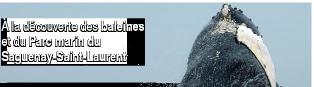 Baleine � bosse au Escoumin