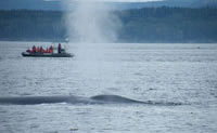 Blow, dreading holes and back of blue whale close to Escoumins